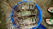fresh lobster Viet Nam
