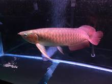 Asian Red Arowana / Potamotrygone Leopoildi Stingray Fish / King Kamfa Flower Horn Fishes