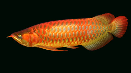We Supply Live Arowana Fishes of All Kinds