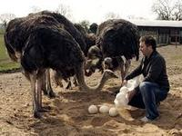 Ostrich Eggs/ Chicks & Mature Ostrich Birds for sale