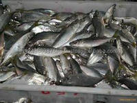 Good Price Horse Mackerel / Fresh Frozen Mackerel fish 400-600g For Sale