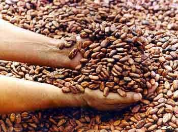 Bulk supply cocoa bean extract manufacturer