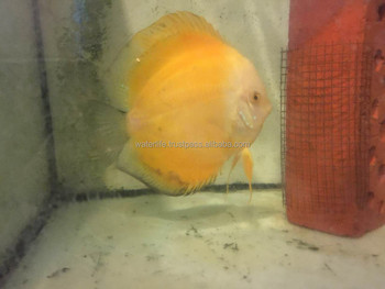 High Quality Discus Fish Breeder and Exporter from Malaysia