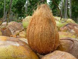 High Quality pollachi coconuts