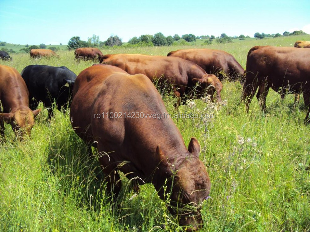50 fattened Angus steers