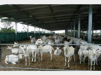 Healthy Live Dairy Cows and Pregnant Holstein Heifers Cow/Boer Goats, Live Sheep, Cattle, Lambs for Sale