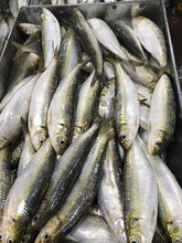 Quality Frozen Sardine Fish Size 5/7 Frozen Seafood Exporters