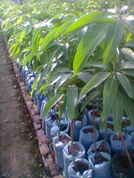Mangifera Indica Fruit Plants Suppliers