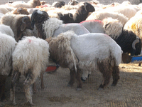 Live Fat Tail Awasi Sheeps For Sale