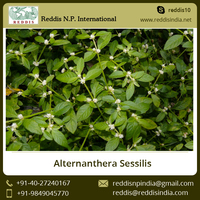 100% Natural Alternanthera Sessilis / Kanchari Plant from Genuine Exporter