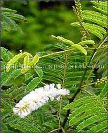 Acacia Catechu For ayurvedic treatment