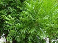 neem oil pesticide