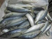 High Quality Seafood Frozen Fish Pacific Sardine All sizes