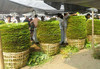 Export Quality Fresh Dark Green Betel leaves Directly from Farm to Port