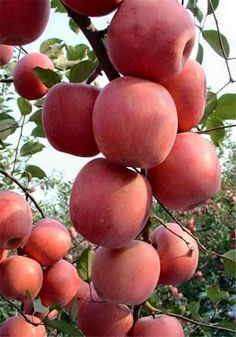 Good Quality Fresh Gala Apple