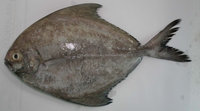 Seafood/Fresh Black Pomfret Fish/Whole Pomfret