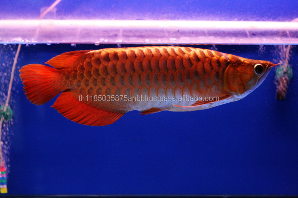 First grade Chili Red Arowana fish for sale (wholesale)
