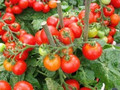 Tomato Oil (OEM / ODM ) 50ML / 100ML / 200 ML / 500ML FROM BORG EXPORT INDIA