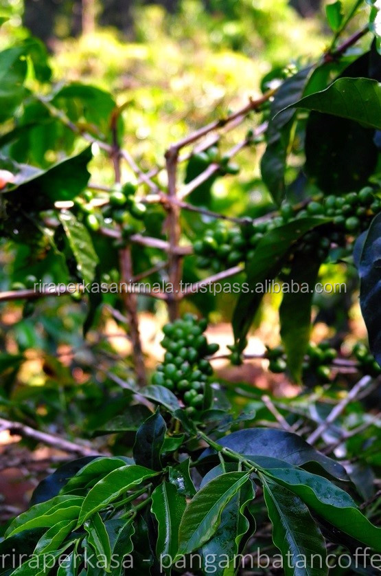 Coffee - Green Bean - Arabica Grade 2 - Indonesia