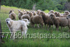 Live Sheep, Goats and Cattle Steer, Cows & Calf for sale