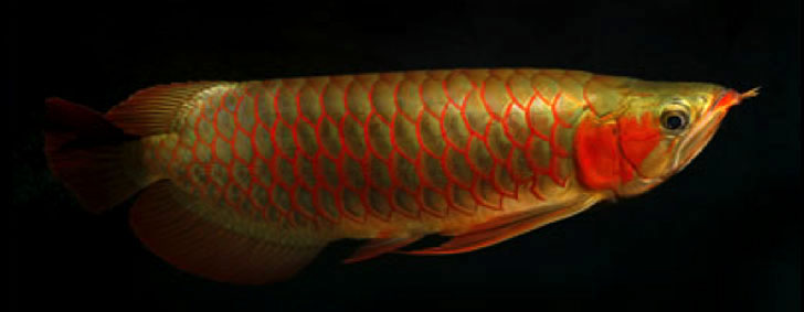 Asian Arowana Fish for Sale