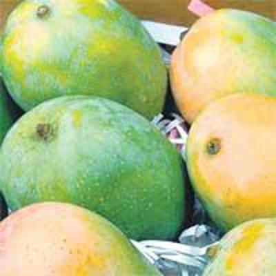 Top Quality Green Kesar Sweet Mango