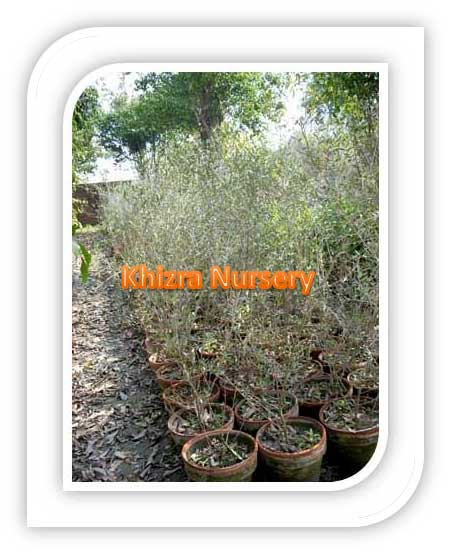 Olive Tree Plants Suppliers