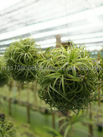 Best Seller Tillandsia Air Plant