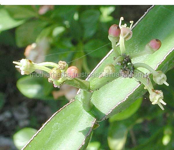 Indian herbs Cissus Quadrangularis Extract