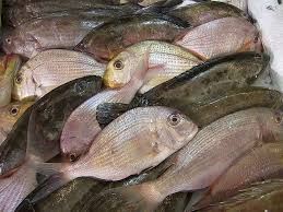 Whole Sale Frozen Horse Mackerel,Salmon , Ribbon Fish ,Eel ,Sea Bass Globefish and Tuna Fish