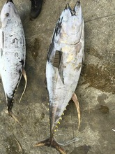Frozen Yellow fin Tuna Whole Round