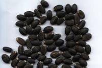 jatropha seeds for sale