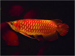 golden red arowana fish for sale