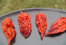 Ghost Pepper / Bhut Jolokia - Hottest Chilli