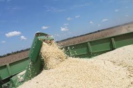 WHITE/YELLOW CORN / MAIZE FOR HUMAN CONSUMPTION AND ANIMAL FEED / NON - GLUTINOUS and GLUTINOUS