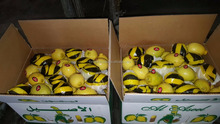 lemons in bulk From Egypt