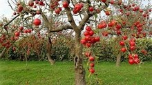 High Quality Fresh Grade A Red apples for sell in bulk