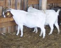 100% Full Blood Boer Goats,Live Sheep, Cattle, Lambs For sale