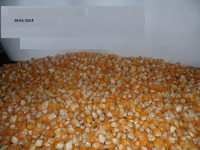Best quality Yellow /white Corn maize for animal feed at cheap prices