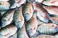 Tilapia fish for sale