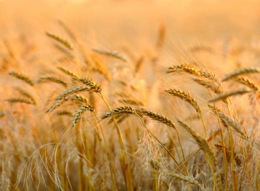 Hot Sale Quality Wheat / Durum Wheat / Milling Wheat