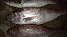 Best Quality IQF Frozen White Snapper Fish suppliers