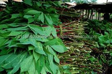Fresh and Frozen Cassava Leaves