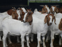 100% Full Blood Boer Goats,Cattle, Sheeps, Lamb Ready for Export
