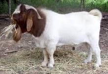 Boer Goats, Cows, Camels, Sheep for sale