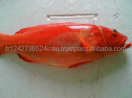 Red Grouper (Sunu Tungsing) forsale at a low rate