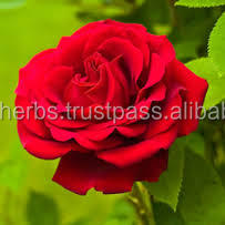 Natural Rosa Centifolia Extract