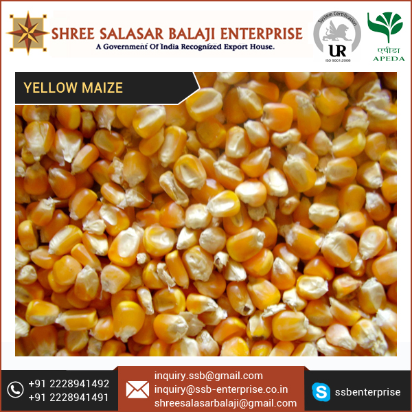 Purchase Good Kind of Yellow Maize Corn for Animal Feed