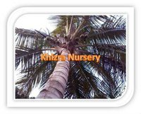 Coconut Trees Suppliers