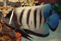 Six-Banded Angelfish (Pomacanthus sexstriatus)